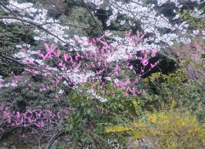 4月のランチ会の会場「農 みのり」さんでお花見をして来ました