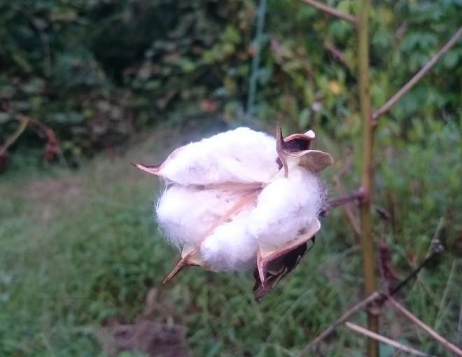 綿がはじけました!