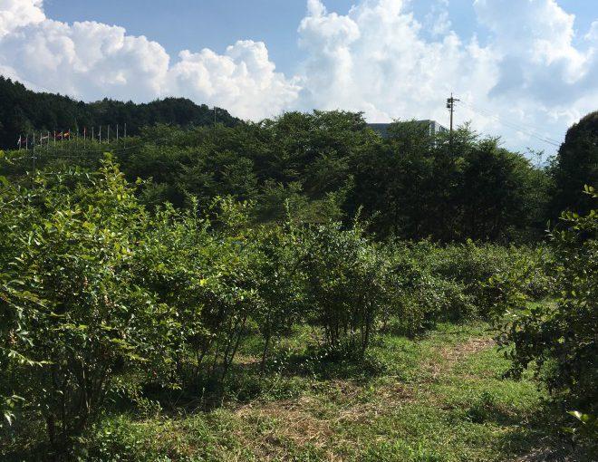 早良区脇山のブルーベリー園「カントリーファーム木苺舎」さん 今年も開園しますよ!